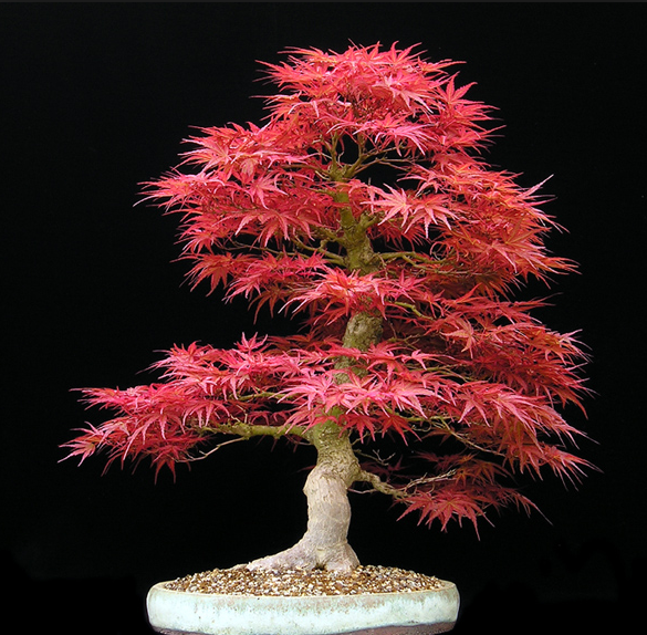 Bonsai, Global Education Magazine