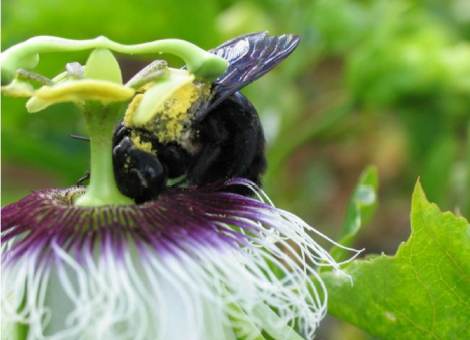 Bee (Xylocopa sp.) in the flower, Global Education Magazine