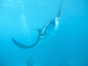 diving in Nusa Lembongan (Indonesia)... with MANTAS!!, javier collado ruano