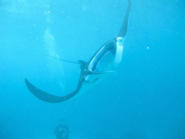 diving in Nusa Lembongan (Indonesia)... with MANTAS!!, javier collado ruano